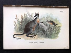 Lydekker & Allen - Australia 1894 Antique Print. Black-Tailed Wallaby.